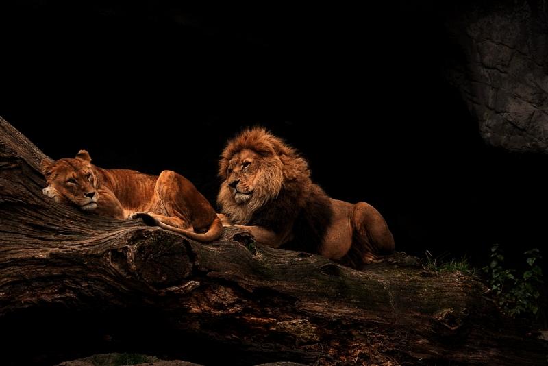 シンガポールナイトサファリのライオン夫婦