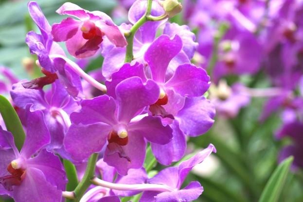 シンガポールの国花オーチャード