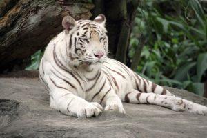 ホワイトタイガー シンガポール動物園
