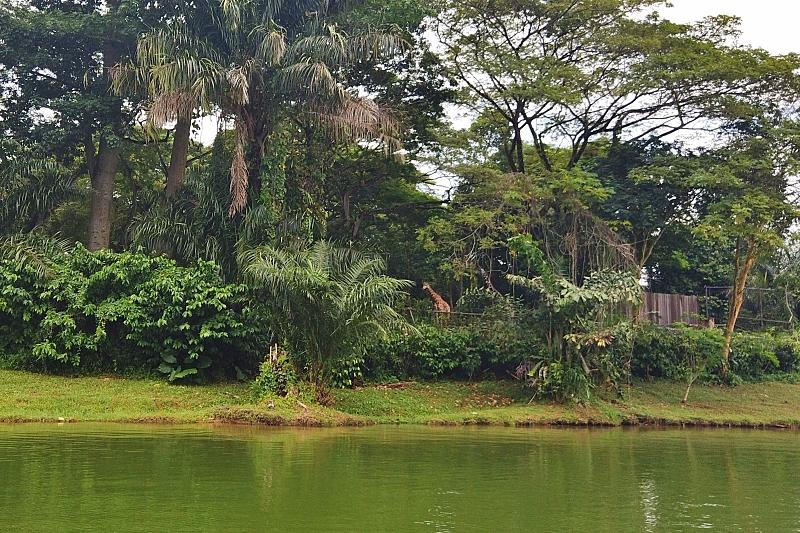 リバーサファリのリバークルーズからみるシンガポール動物園のキリン