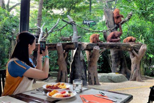 シンガポール動物園 オラウータンと朝食