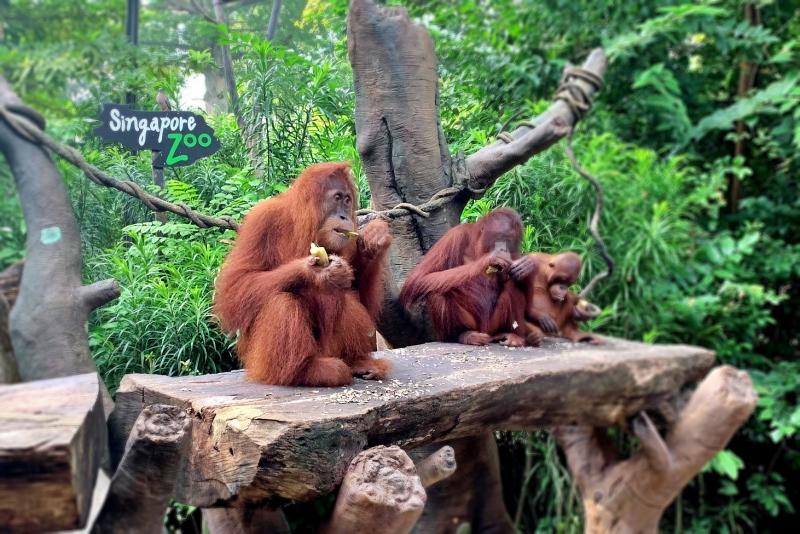 シンガポール オラウータンと食事
