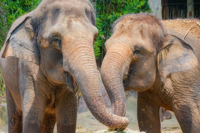 シンガポール動物園象のショー
