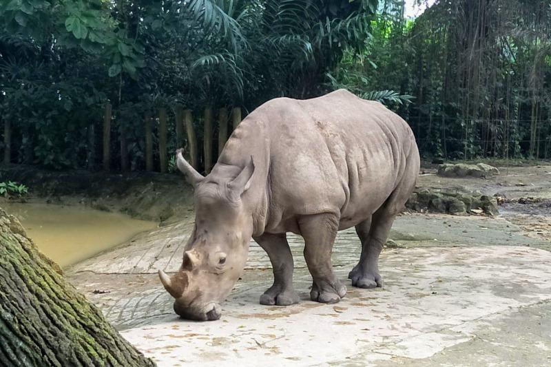 シンガポール動物園のサイ