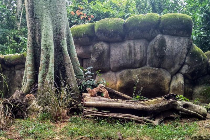 シンガポール動物園ミーヤキャット
