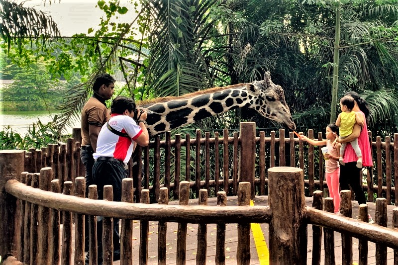 シンガポール動物園の見どころ キリンに餌をあげる体験