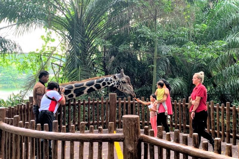 シンガポール動物園 キリンのエサやり体験 Giraffe feeding