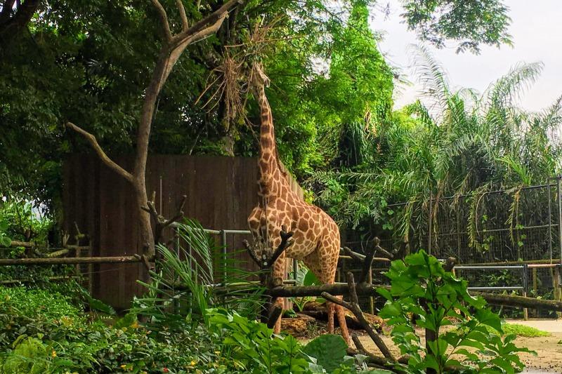 シンガポール動物園 キリン