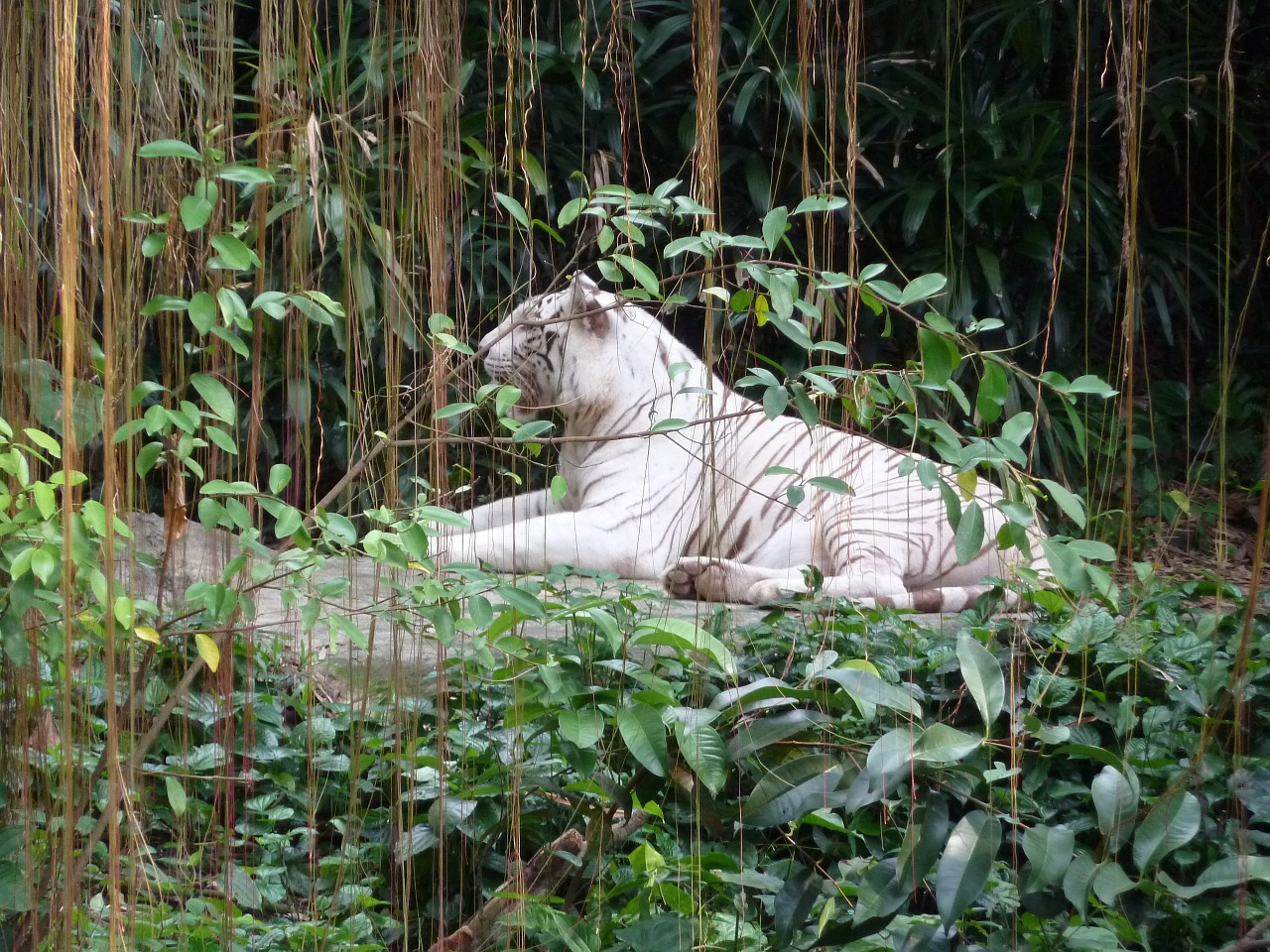 シンガポール動物園 ホワイトタイガー