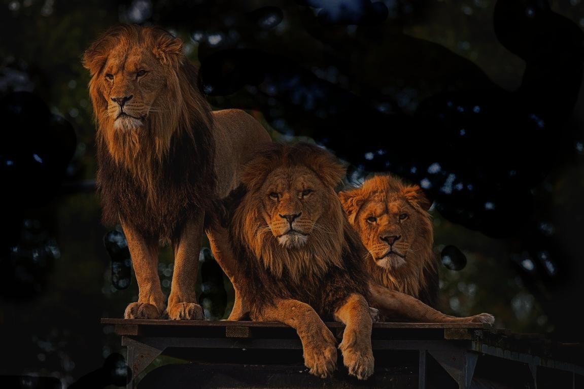 シンガポールナイトサファリのライオン