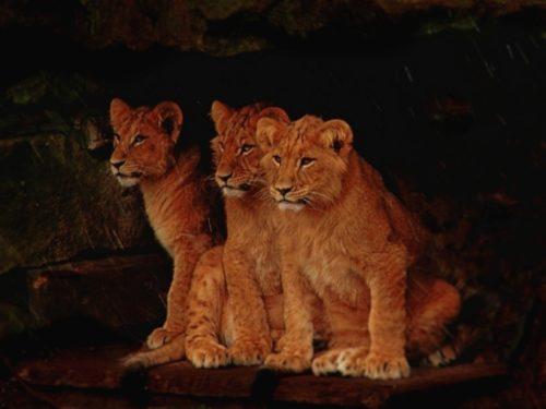 ナイトサファリ ライオンの赤ちゃん